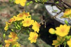 Hoa MAI-Baum Ochna Integerrima-Blume Stockbilder