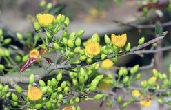 Hoa MAI-Baum Ochna Integerrima-Blume Stockfoto