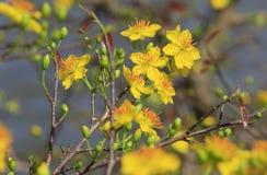 Hoa MAI-Baum Ochna Integerrima-Blume Lizenzfreies Stockbild