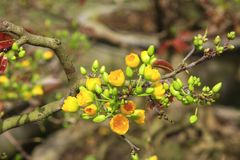 Hoa Mai Ochna Integerrima drzewny kwiat Fotografia Royalty Free