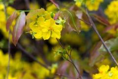 Hoa Mai tree flower Stock Photography
