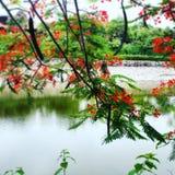 Hoa phuong Royalty-vrije Stock Afbeeldingen