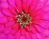 Hoade rosa färg Royaltyfria Foton