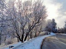 Hoar Berijpte Eiken Bomen in Aspen Glow Royalty-vrije Stock Fotografie