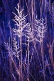 Hoar berijpte grassen, wintertijd Royalty-vrije Stock Afbeelding