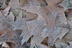 Hoar froast Autum leaf Stock Image