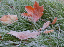Hoar-frost. Fallen leaves are covered with frost on the grass Stock Image