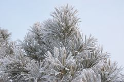 Hoar-frost. By branch of pine Royalty Free Stock Photo