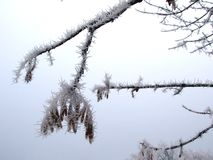 Hoar frost on ash tree Royalty Free Stock Photography