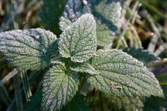 Hoar-frost auf Nesselblättern Lizenzfreies Stockbild