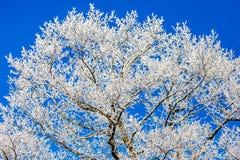 Hoar-Frost-Baum auf Blau Stockbild