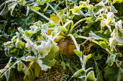 Hoar frost on beet root. Plants, october in Finland Stock Images
