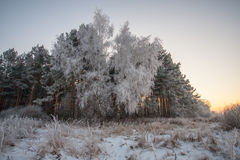 Hoar frost on birch. And pine trees. A winter forest on sunset in a hard frost Royalty Free Stock Images
