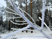 Hoar-frost on the branch of pine in the forest Royalty Free Stock Photography