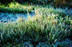 Hoar frost on calluna plants Royalty Free Stock Images