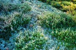 Hoar frost on calluna plants Royalty Free Stock Image