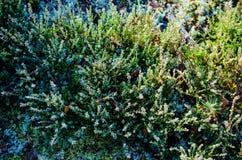 Hoar frost on calluna plants Royalty Free Stock Photos