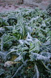 Hoar frost on cauliflower plant Stock Photography