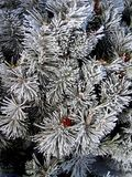 Hoar Frost Covered Bush Stock Photography