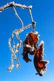 Hoar frost covered grape vines against a blue sky Royalty Free Stock Photos