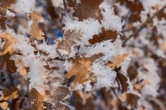 Hoar frost covered oak leaves at winter forest Stock Image