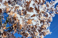 Hoar frost covered oak leaves at winter forest Royalty Free Stock Photography
