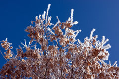 Hoar frost covered oak leaves at winter forest Stock Photo