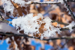 Hoar frost covered oak leaves at winter forest Royalty Free Stock Photos