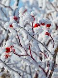 Hoar-frost covered red berries in winter stock photo