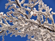 Hoar frost covering bare tree branches on a Winter's day.  Stock Image