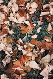 A hoar frost covers fallen autumn brown leaves. A hoar frost covers fallen autumn leaves Royalty Free Stock Photo