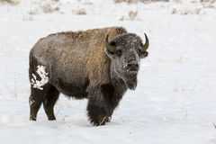 Hoar frost on cow bison in deep snow in Tetons Royalty Free Stock Images