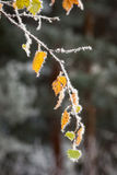 Hoar frost crystals on autumn leaves. Beautiful hoar frost crystals on autumn leaves Stock Photos