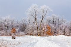 Hoar Frost in the Deciduous Forest Royalty Free Stock Image