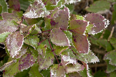 Hoar frost on the edges of leave. Stock Photo