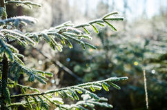Hoar frost on european silver fir branch. In october Stock Photos