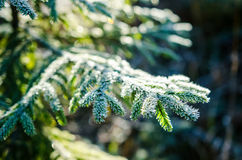 Hoar frost on european silver fir branch. In october Royalty Free Stock Photo