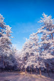 Hoar frost forest Stock Photography