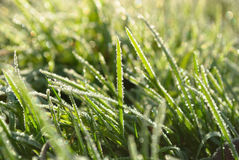 Hoar frost grass Royalty Free Stock Photo