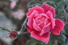 First Frost on Budding Blooms royalty free stock images
