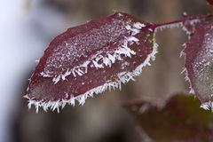 Hoar frost on a leaf. Royalty Free Stock Images