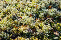 Hoar frost on lichens plants Stock Photography