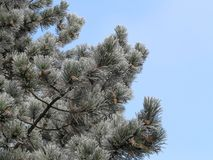 Hoar frost on needles of pine tree Stock Photo