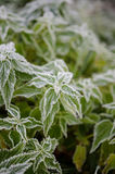 Hoar frost on nettle Stock Photo