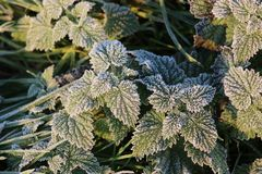 Hoar frost on nettle leaves on frosty winter morning. Hoar frost or white ice crystals on nettle leaves on a frosty winter morning in the countryside royalty free stock photography