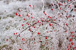 Hoar Frost On Rose Hips Royalty Free Stock Images