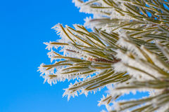 Hoar Frost on Pine Needles Royalty Free Stock Photo