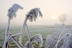Hoar frost on reed near a fence Royalty Free Stock Photo