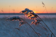 Hoar frost on reed in a winter landscape Stock Images