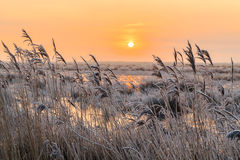 Hoar frost on reed in a winter landscape at sunset Royalty Free Stock Images